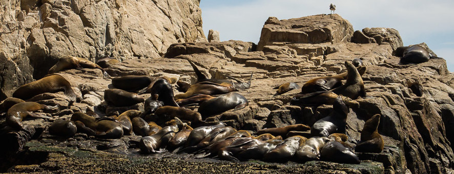 Sea Lion colony