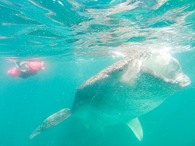 Swiming with Whale Sharks 4