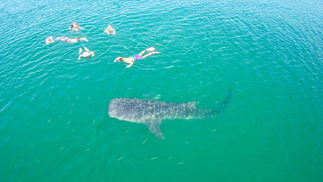 Swiming with Whale Sharks 6
